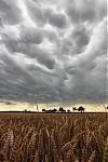 Mammaty nad pšeničným polem - autor: Dagmar Müllerová