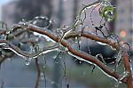 Vrba obalená ledem  - autor: Lukáš Větříšek