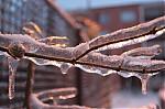 Ledovka na větvi  - autor: Lukáš Větříšek