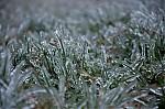 Ledovka na trávě - autor: Jan Švarc