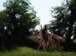 Zlomený strom - autor: